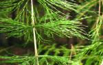 Хвощ полевой отзывы при цистите