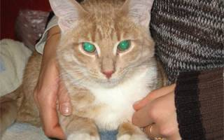 Чем лечить острый цистит у кошки