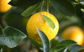 Чай с лимоном помогает при цистите