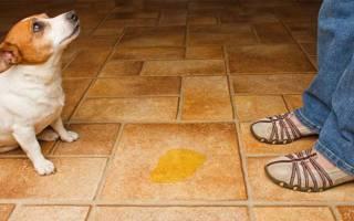 Как у собак появляется цистит