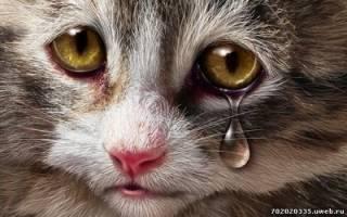 Гомеопатия при цистите у кошки