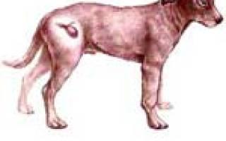 Геморрагический цистит у собак симптомы