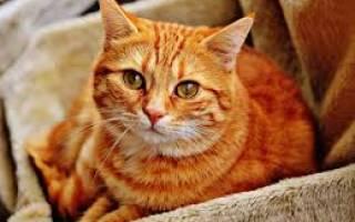 Еда для кошек при цистите