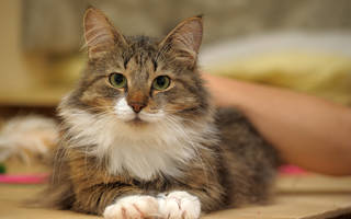 Долго ли лечить цистит у кота
