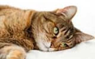 Температура при цистите у кота
