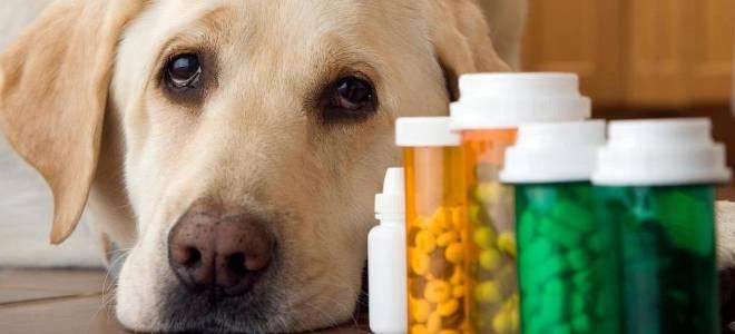 Чем лучше лечить цистит у собаки