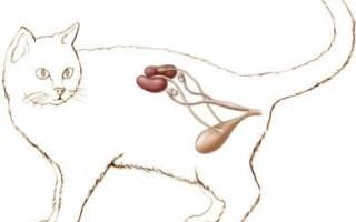 Чем опасен цистит для кошек
