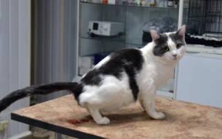 Идиопатический цистит у кошек патогенез